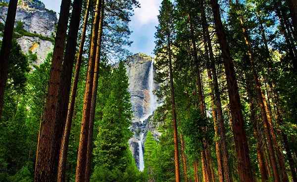 AMERICAN-DISCOVERY Yosemite Waterfalls behind Sequoias 128950319