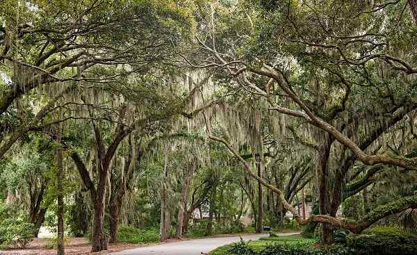 HARLEY-FUN-RIDE-ATLANTIK New Orleans Oaks draped in Spanish Moss 159387578