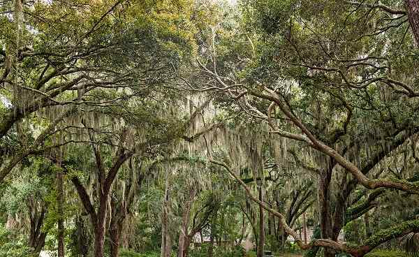MISSISSIPPI-RUNDREISE New Orleans Oaks draped in Spanish Moss 159387578
